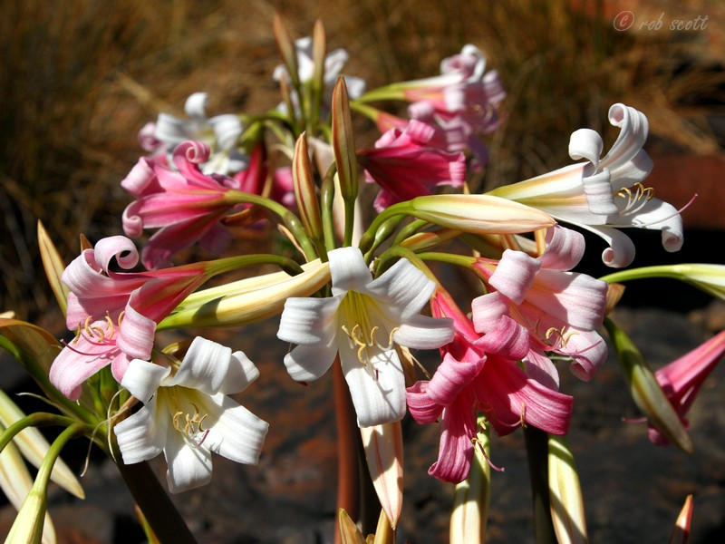 Crinum variabile shire indigenous bulbs