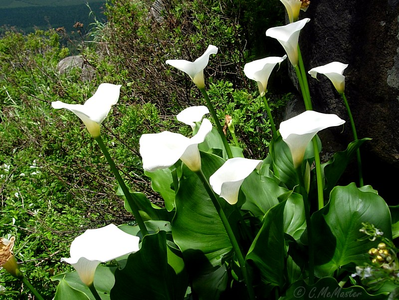Zantedeschia aethiopica shire indigenous bulbs