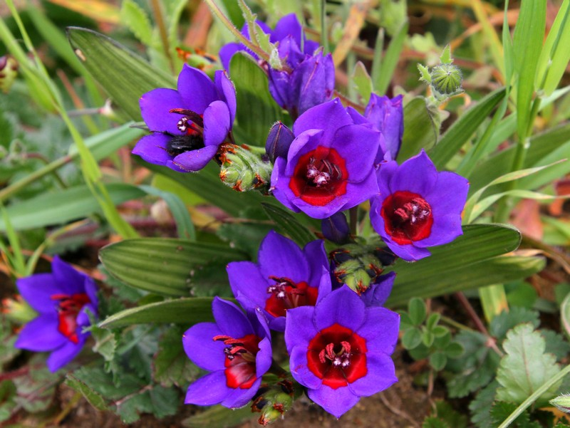 geissorhiza_radians shire indigenous bulbs